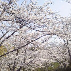 長距離散歩のご褒美桜